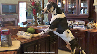 Funny Great Dane Chooses Watermelon Over Pizza