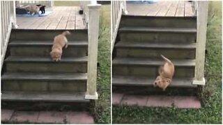 Labrador puppy takes an adorable tumble