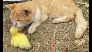 Rejected duckling finds a new family member: a cat