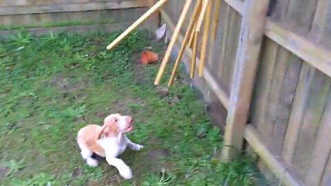 Joyful Bracco Italiano puppy plays with wind chimes