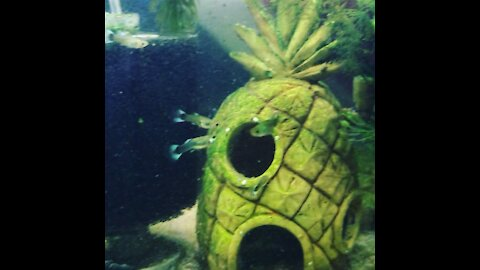 10 gallon baby guppy tank