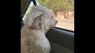 My dog enjoying the car ride