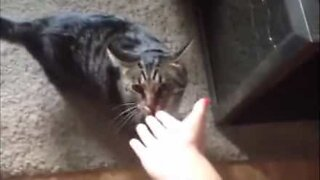 Angry cat smells owner's betrayal