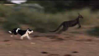 Dogs chase kangaroo in Aussie beach
