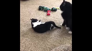 Kitten uses hilarious technique to attack adult cat