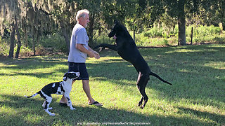 Jealous Great Dane doesn't want to share the fun with puppy