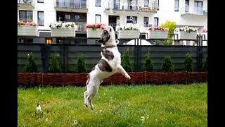 Kjærlighetshistorie: en bulldog og boblene hans
