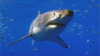 New Study Shows Great White Sharks Fear Killer Whales