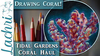 Coral Haul from Tidal Gardens & Drawing coral in Colored Pencil - Lachri