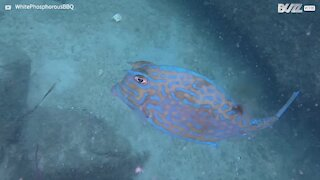 Amazing moment cowfish changes color
