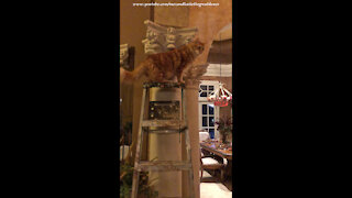 Curious Cat Loves To Climb A Ladder For A Cat's Eye View