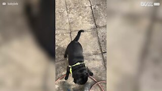 Dog loves to play with owner's feet