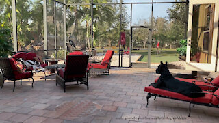Florida Great Danes love chilling on the lanai