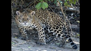 9 things to know about jaguars in Arizona - ABC15 Digital