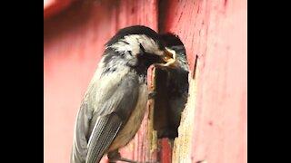 Birds Feeding Chicks