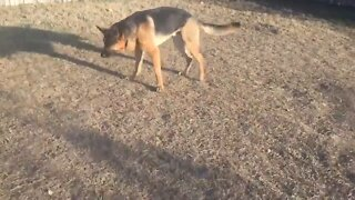 When A German Shepherd Finds A Foreign Object