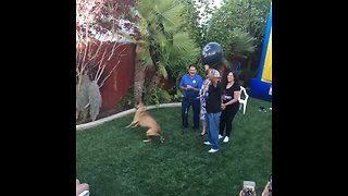 Dog pops balloon for baby gender reveal party