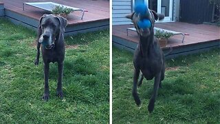 CLUMSY GREAT DANE TRIES TO CATCH BALL BUT FAILS WHEN HIS MOUTH ALREADY HAS ONE WEDGED IN