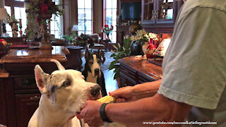 Sharing Great Danes are great at cleaning corn on the cob