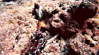 Rare footage of octopus mating on the reef in Papua New Guinea