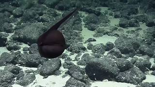 Submarine Captures A Rare Footage Of A 'Shape-Shifting' Gulper Eel