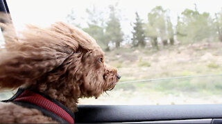 Dog's Head Out the Car Window