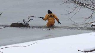 Hjort reddet fra en frossen sø i Colorado