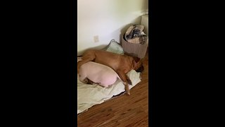Mastiff and piggy best friends adorably cuddle together