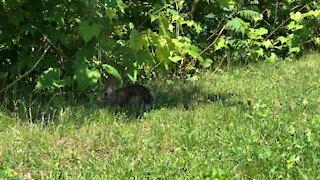 Rabbit eating grass-Toronto