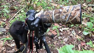 Say Cheese! Monkey Photographer Caught On Camera