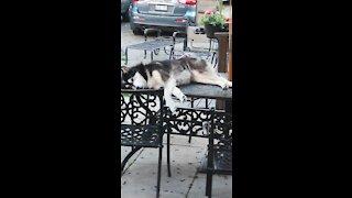 Husky can sleep anywhere, sprawls out on outdoor table