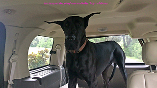 Great Dane with Happy Ears Loves a Car Ride