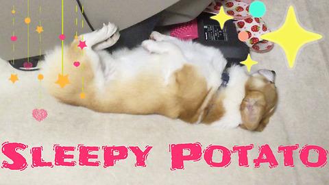 Half Asleep Corgi Dog ~ Funny and Cute Reaction