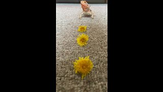 Adorable lizard gobbles up tasty dandelions
