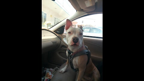 Piper Lily Pit Bull Terrier's First Music Video