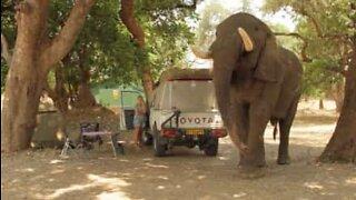 Elefant invaderer camping på leting etter mat
