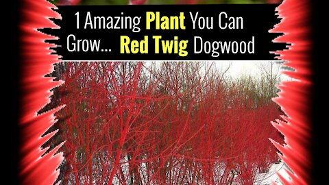 Alaskan Greenhouse with Red Twig Dogwood Trees (Ana White Design)