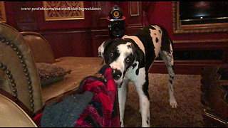 Funny Great Dane Loves To Shake His Blanket