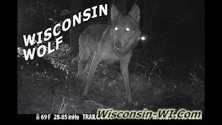 Wisconsin Wolf Trail Camera VIDEO Multiple Angles - Landman Realty LLC