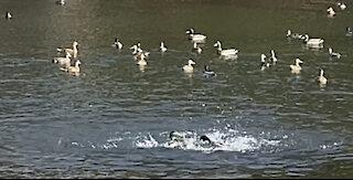 fighting ducks(?)