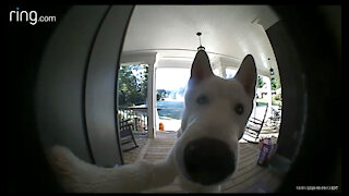 My crazy white husky in action