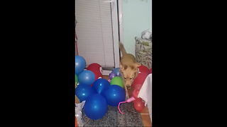Brave Pooch Overcomes Difficult Balloon Obstacle
