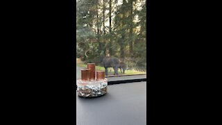 Miniature pony sighting in Woodinville, Washington
