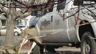 Hjort sitter fast under hjulet på en politibil i USA