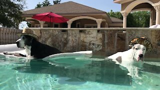 Water-loving Great Danes casually chill in pool with cowboy hats
