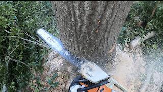Dude Demolishes Tree