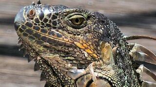 Fort Lauderdale Iguanas