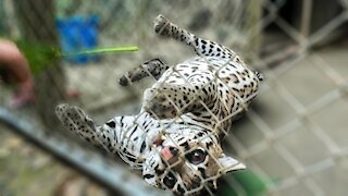 Chubby rescued ocelot loves to play with people