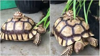 Baby turtle rides an adult turtle