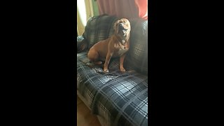Bulldog loves howling along to harmonica music